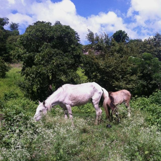 Horses in Nicarauga